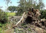 Storchentragödie im Pfungstädter Moor