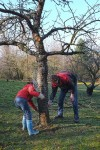 Schafgruppe - Baumschutz auf der Bipsweide