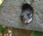 Siebenschläfer, Zauneidechse, Eichhörnchen