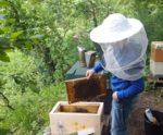 Schwarmkontrolle und Honigernte