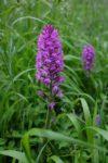 Orchideen am Seeheimer Blütenhang