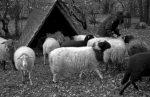 Heulieferung für die NABU-Schafe