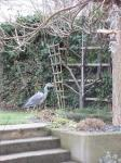 Graureiher im Vorgarten
