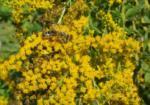 Pollenspender Kanadische Goldrute
