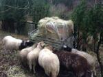 Winterfutter für die NABU-Schafe