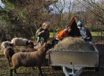 Heu für die Wühlmaus-Schafe