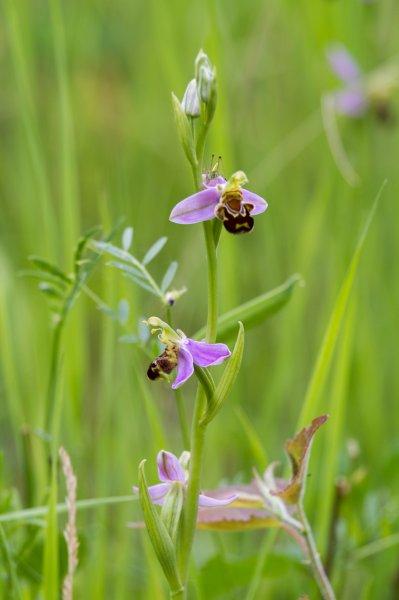 Bienenragwurz 1