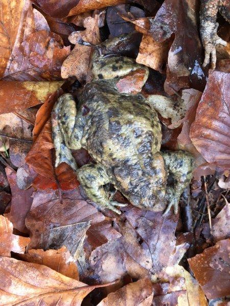 Erdkröten-Flut 1