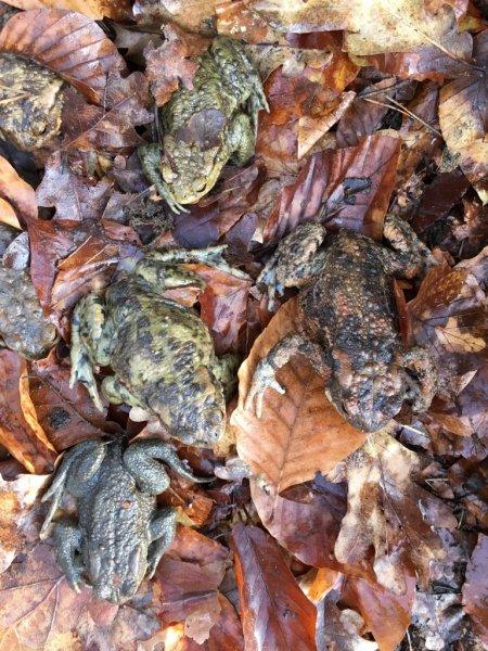 Erdkröten-Flut 2