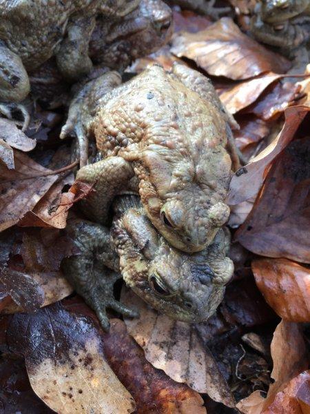 Erdkröten-Flut 3