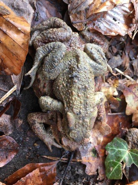 Erdkröten-Flut 4