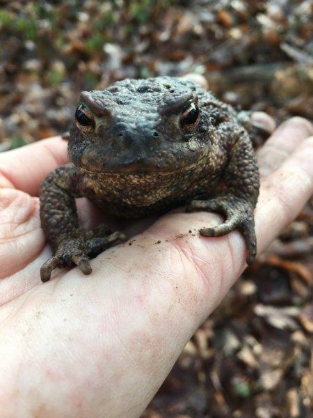 Erdkröten-Flut 7