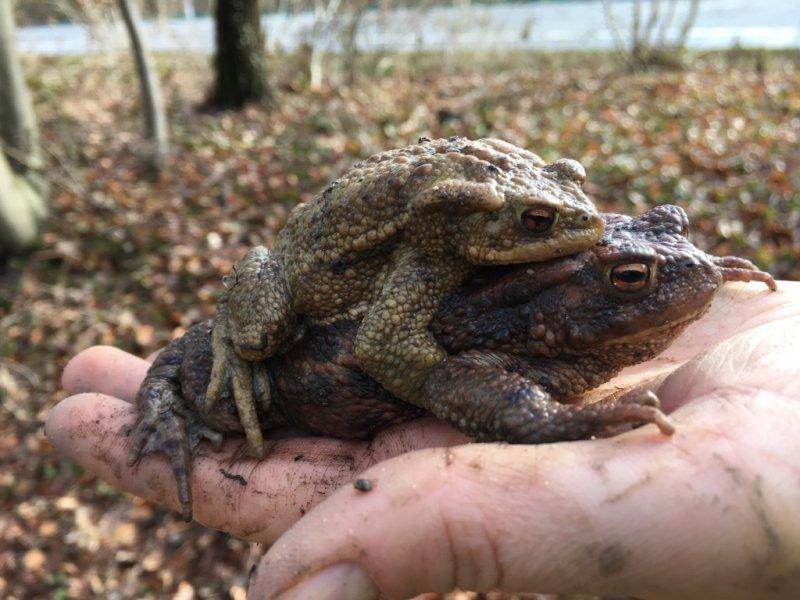 Erdkröten-Flut 9