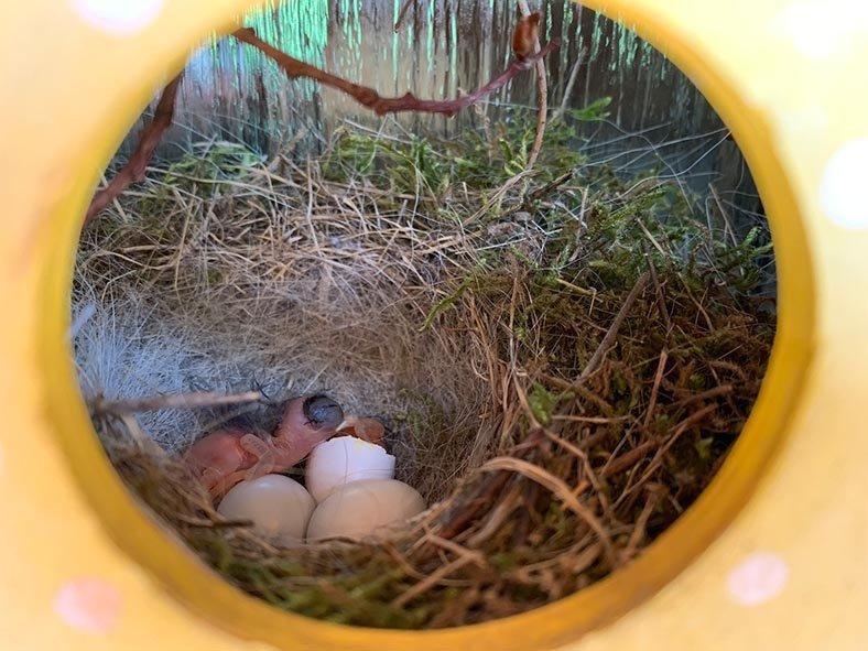 Hausrotschwanz-Nest-im-Türkranz-3-Sylvia-Bonin