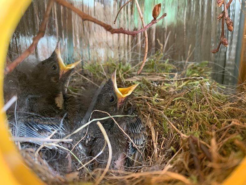 Hausrotschwanz-Nest-im-Türkranz-4-Sylvia-Bonin