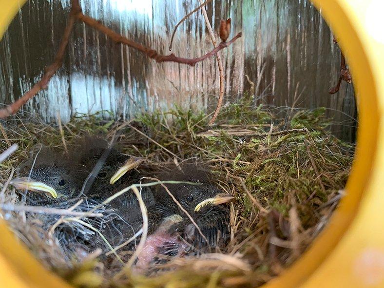Hausrotschwanz-Nest-im-Türkranz-5-Sylvia-Bonin
