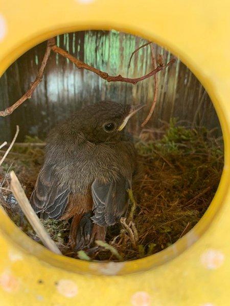 Hausrotschwanz-Nest-im-Türkranz-6-Sylvia-Bonin