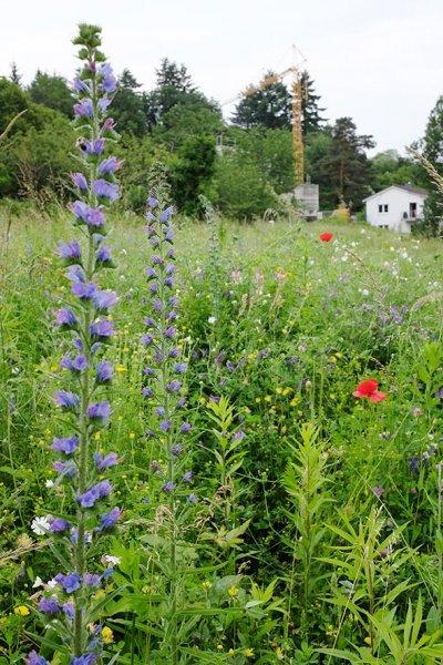 Blütenpracht auf der Bienenweide 2