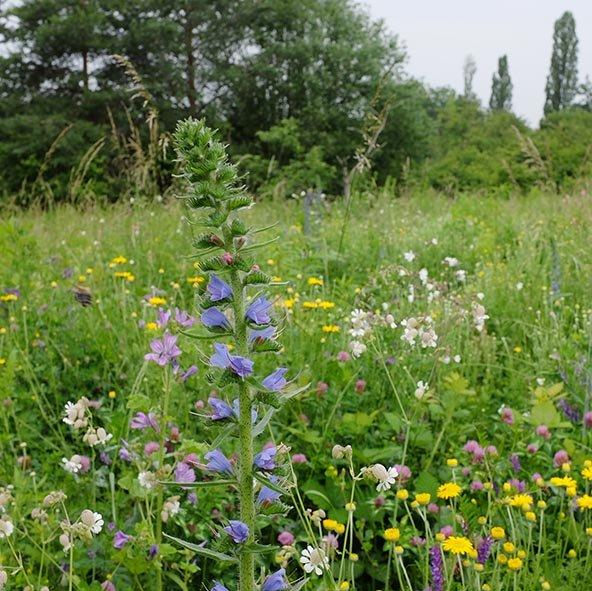 Blütenpracht auf der Bienenweide 5