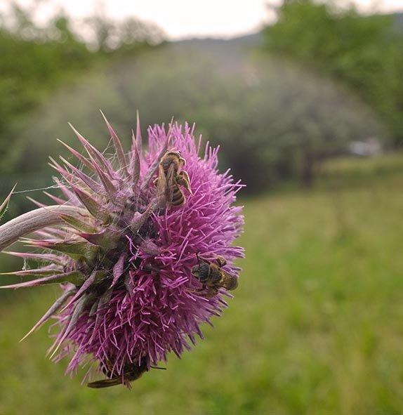 Distelblüte mit Wildbienen 1