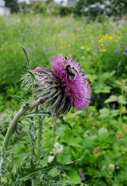 Distelblüte mit Wildbienen 2