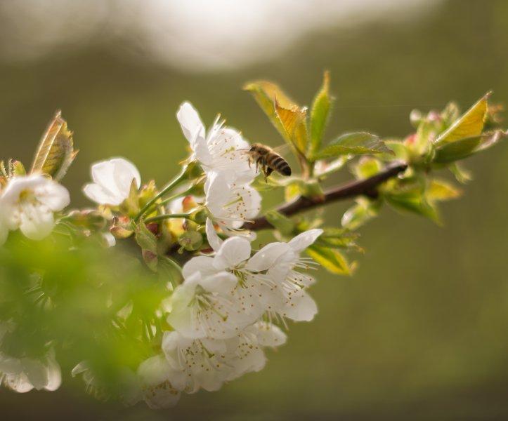 Honigbiene an Obstblüten