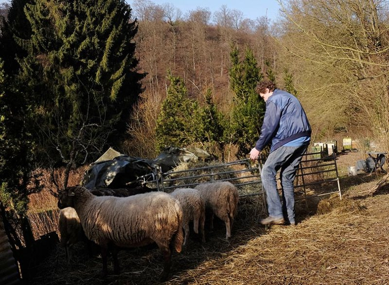 Schafe auf den Etzwiesen 1