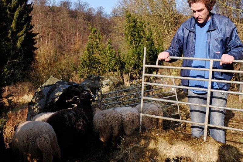 Schafe auf den Etzwiesen 2