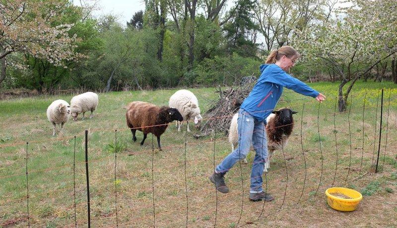 Schafe-auf-der-Götterbaumweide-01-10x17s