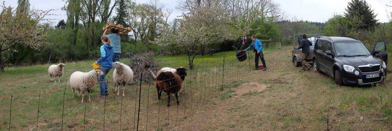 Schafe-auf-der-Götterbaumweide-02-10x30s
