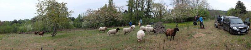 Schafe-auf-der-Götterbaumweide-03-10x50s