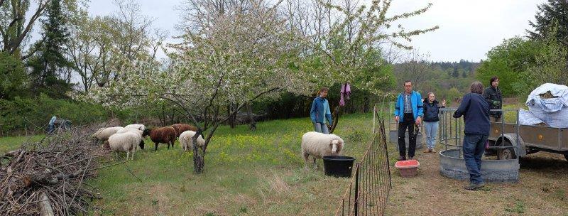 Schafe-auf-der-Götterbaumweide-04-10x26s