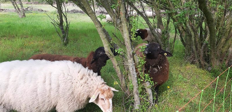 Schafe-auf-der-Götterbaumweide-07-10x13s