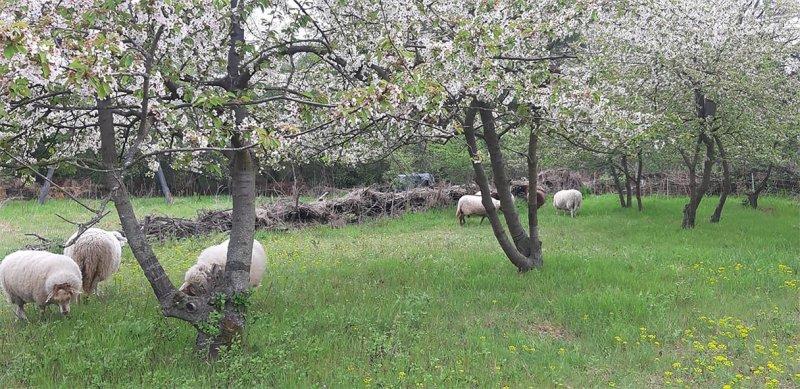 Schafe-auf-der-Götterbaumweide-08-10x13s