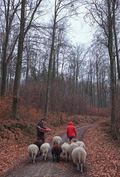 Waldwanderung mit Schafen 07 10x15s