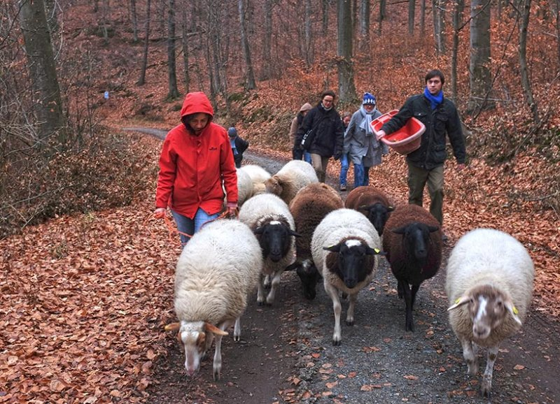 Waldwanderung mit Schafen 10 10x14s