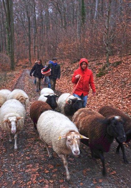 Waldwanderung mit Schafen 13 10x14s