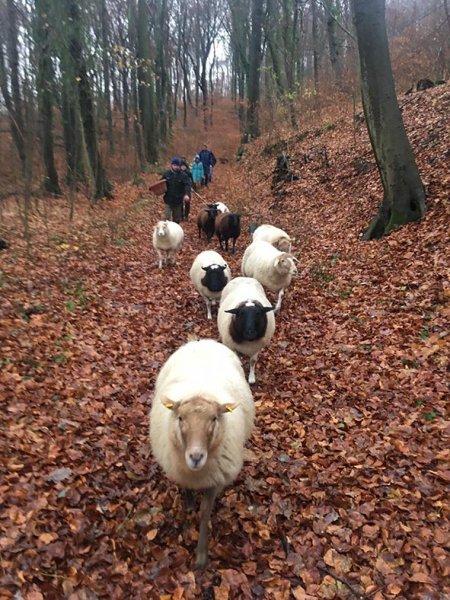 Wanderung-mit-Schafen-1-Foto-Regine-Kinner-Scherf