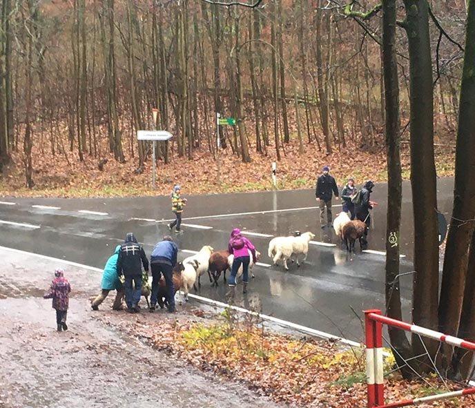 Wanderung-mit-Schafen-Strassenquerung-Foto-Regine-Kinner-Scherf
