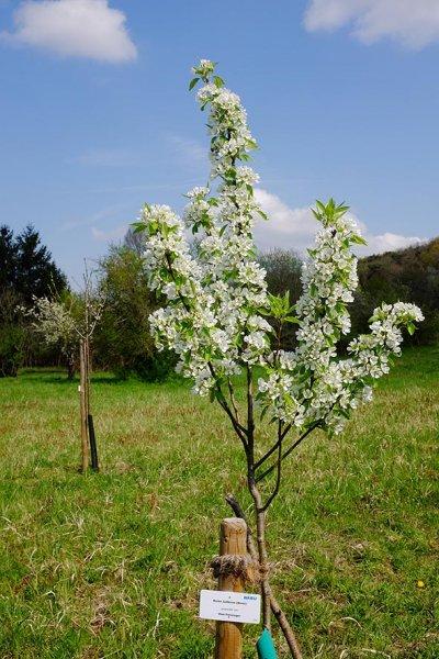 Blühender Birnbaum im Kirschgarten