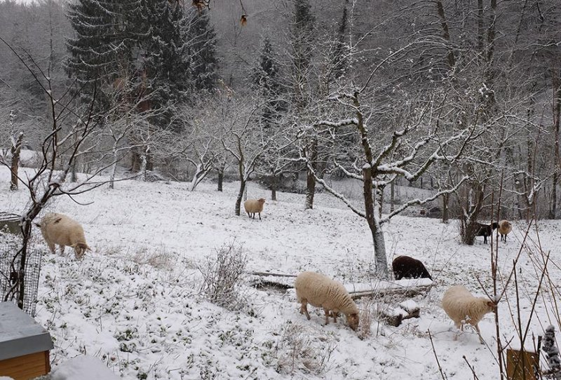 Schafe Etzwiesen