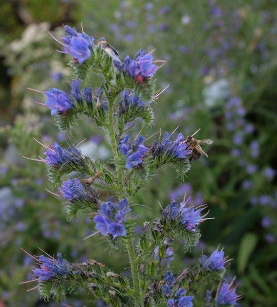 Honigbiene auf Blüte des Gemeinen Natternkopf