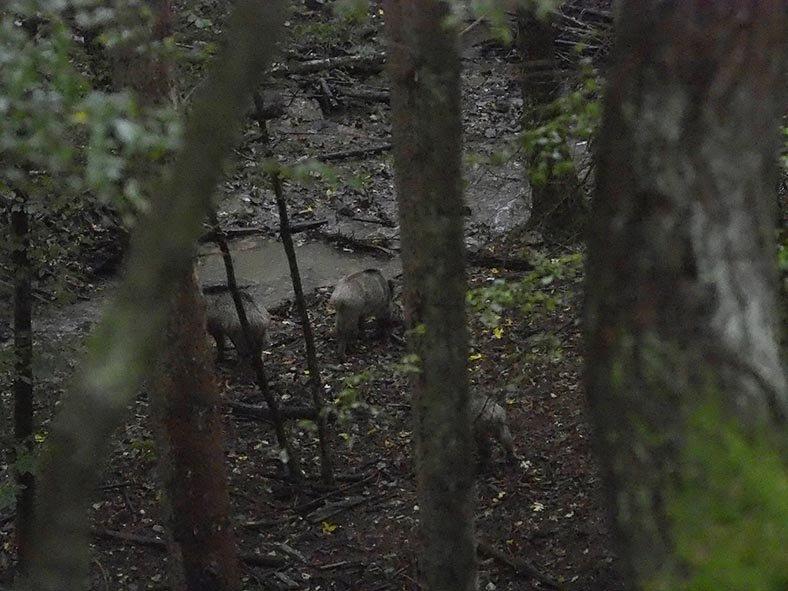 Wildbeobachtung - Wildschweine - Jan Zeissler