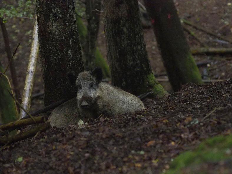 Wildbeobachtung - Wildschwein - Jan Zeissler