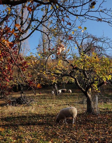 Bipsweide - Schafe umstellen 01 10x13s