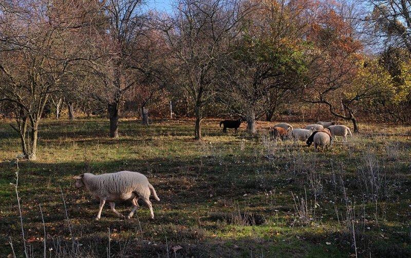 Bipsweide - Schafe umstellen 03 10x16s