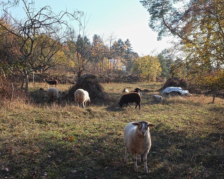 Schafe auf der Wg-Jäckel-Weide 3 10x13s