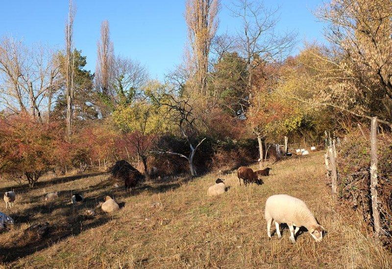 Schafe auf der Wg-Jäckel-Weide 4 10x15s