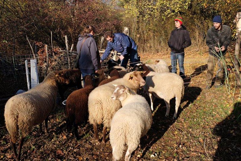 Schafe umstellen 03 10x15s
