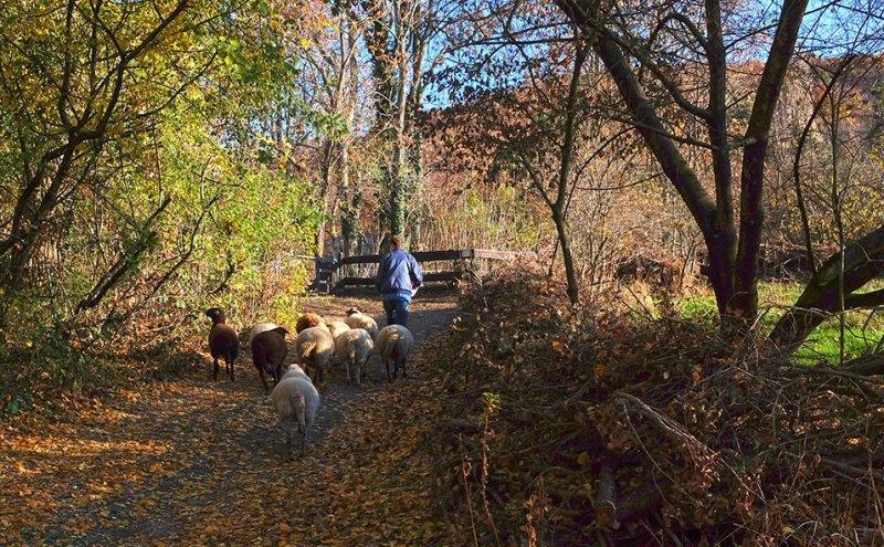 Schafe umstellen 06 10x16s